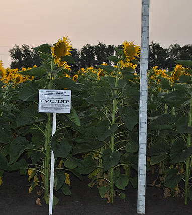 Насіння соняшнику Гусляр (Гуслер), фото 2
