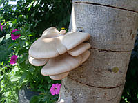 Вешенка засеяная на древесине SN 010015