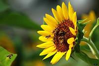 Насіння соняшника Українське сонечко
