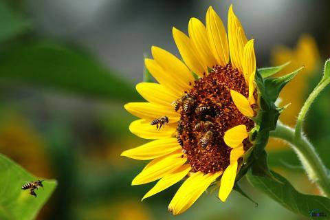 Насіння соняшника Українське сонечко, фото 2