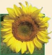 Семена подсолнечника P64HH98