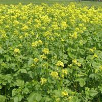 Семена Горчицы желтой сидерат