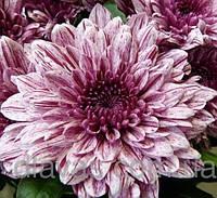 Хризантема крупноцветковая срезочная , фото 1