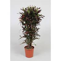 Крупномеры Codiaeum Curly Branched (fachjan), 30, Кротон, 150