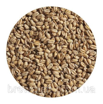 Солод зерновой пшеничный украинский. Malteurop. 1 кг, фото 2