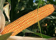 Семена кукурузы ЕС Битл  ФАО 240, 120 ц/га,. Евралис Семанс  / Украина