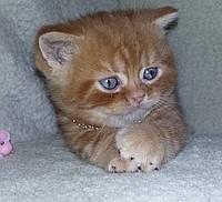 Шотландские котята: хайленд фолд и страйт, скоттиш фолд и страйт