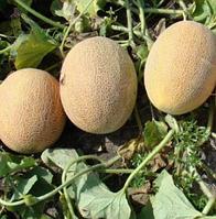 ГОЛДИ F1 / GOLDI F1 – Дыня, Clause, 5 000 семян