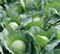 Флексима f1 / fleksima f1 – капуста белокочанная, rijk zwaan 2 500 семян