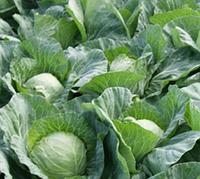 Флексима f1 / fleksima f1 – капуста белокочанная, rijk zwaan 1 000 калиброванных семян