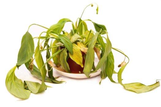 чахнут комнатные растения