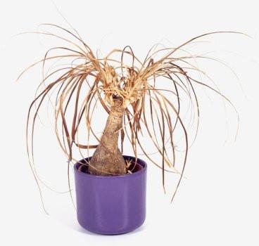 комнатное растение засохло