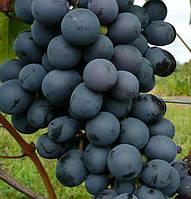 Агат Донской, саженцы винограда