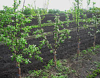 Саженцы яблони на карликовом подвое (М.9) и (Б7-35) - Осень 2017