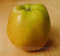 Яблоня Голден Резистент. (54-118) (в) Зимний сорт.