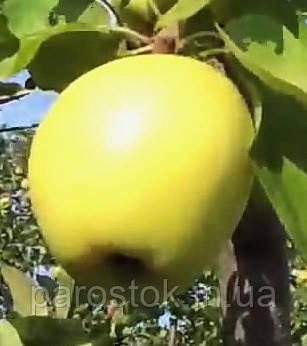 Яблоня Голден Делишес Смути. (Р14). Зимний сорт