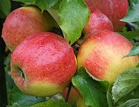 Саженцы яблони Джонаголд. (М.9) Зимний сорт.