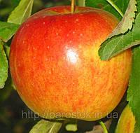 Саженцы яблони Пинова. (М.9) Зимний сорт. , фото 1