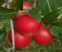Яблоня Рубинола. (Б7-35). Раннезимний сорт.