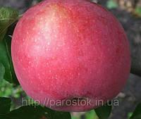 Яблоня Флорина. (М.9) Зимний сорт., фото 1