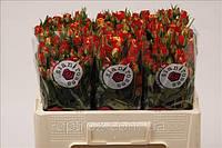 Роза кустовая спрей голландская