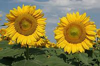 Семена подсолнечника Толедо (под Гранстар) (цена договорная)