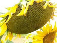 Семена подсолнуха Нео (под Гранстар) (цена договорная)