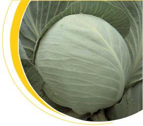 Семена капусты средней