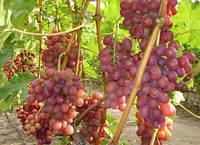 Виноград Ливия (очень ранний) (черенки)