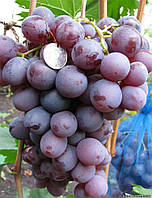 Виноград Низина ранний (черенки)