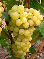 Виноград Августин ранний (черенки)