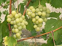Виноград Галбена-ноу (Золотинка) (черенки)