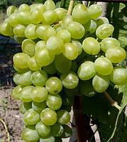 Виноград Элегант сверхранний (черенки)