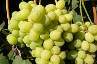 Виноград Лора (очень ранний) (черенки)