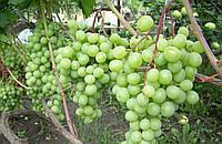 Виноград Талисман (черенки)