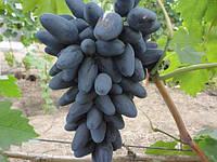 Виноград Викинг (очень ранний) (черенки)