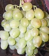 Виноград Метеорит (черенки)