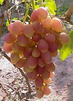 Виноград Ксения ранний (черенки)