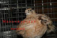 Инкубационные яйца манчьжурской породы