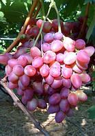Виноград Парижанка (очень ранний) (черенки)