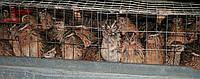 Инкубационные яйца эстонской породы