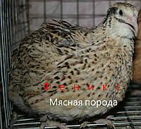 Инкубационные перепелиные яйца породы Феникс