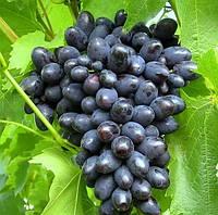 Виноград Кодрянка (очень ранний) (саженцы)