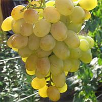 Виноград Восторг Мускатный (саженцы)