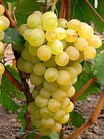 Виноград Августин ранний (саженцы)