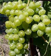 Виноград Элегант сверхранний (саженцы)