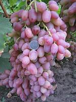 Виноград Гелиос ранний (саженцы)