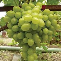 Виноград Новый Подарок Запорожью (саженцы)