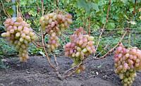 Виноград Розовый Тимур ранний (саженцы)