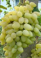 Виноград Зарница ранний (саженцы)